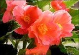 Begonia Bounty by trixxie17, photography->flowers gallery