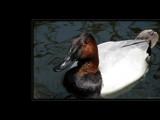 Ducks Unlimited VII by Hottrockin, Photography->Birds gallery