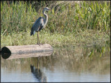 Great Blue Heron by madmaven, Photography->Birds gallery