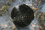 Growth Rings in Death by elkay, Photography->Nature gallery