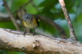 American Redstart by photog024, Photography->Birds gallery