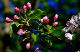 ......in Apple Blossom Time by snapshooter87, photography->flowers gallery