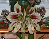 Amaryllis for Christmas by JONNO, Photography->Flowers gallery