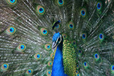 Peacock by MTlens, Photography->Birds gallery