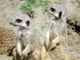 Meercats by casper1, photography->animals gallery