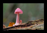 The Pink by kodo34, Photography->Mushrooms gallery