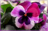 Raspberry Sundae by trixxie17, photography->flowers gallery