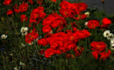 Poppies . . . by LynEve, photography->flowers gallery
