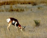 Texas Pronghorn Antelope by snapshooter87, photography->animals gallery