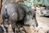 Austrailian Piggy by Pistos, photography->animals gallery