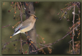 Cedar Waxwing by theradman, Photography->Birds gallery