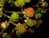 tonight starring: blackberries by Marzena, photography->gardens gallery