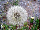 A-dandelion on the down side .... by dave54, Photography->Flowers gallery