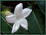 Stephanotis (Wedding Flower) by trixxie17, photography->flowers gallery
