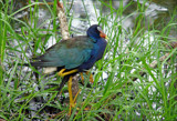 Purple Gallinule by allisontaylor, Photography->Birds gallery