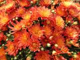 Jacqueline Orange Fusion Mum by trixxie17, photography->flowers gallery