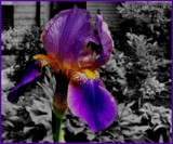 Iris by mesmerized, photography->flowers gallery