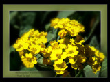How lovely yellow is . . . by LynEve, Photography->Flowers gallery