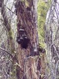 Crusty Old Tree by ironjoe, Photography->Mushrooms gallery