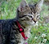 A male toyger by thebitchyboss, photography->pets gallery