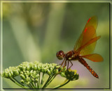 The Eastern Amberwing Dragonfly by tigger3, photography->insects/spiders gallery