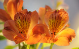 Bronze Alstroemeria by Pixleslie, Photography->Flowers gallery