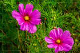 Foofy Friday Twins by corngrowth, photography->flowers gallery