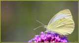 The Cabbage White Butterfly by tigger3, photography->butterflies gallery