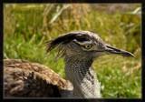 Kori Bustard by Jimbobedsel, Photography->Birds gallery
