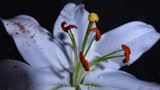 Lily White by LynEve, photography->flowers gallery