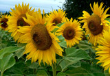 Sunflowers 1 by LynEve, Photography->Flowers gallery