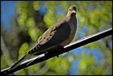 Wild pigeon by GIGIBL, photography->birds gallery