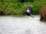 Great Blue Heron by jeffpratt, Photography->Birds gallery