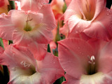 Joyful Glads Send their Smiles in Pink! by marilynjane, Photography->Flowers gallery