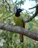 Green Jay by stoneytreehugger, Photography->Birds gallery
