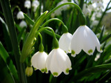 Springtime Snowdrops by nivek06, Photography->Flowers gallery