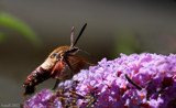 The Hummingbird Moth #2 by tigger3, photography->action or motion gallery