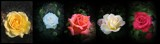 A Rosey Header For You by Roseman_Stan, photography->flowers gallery