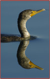 Mirrored Swimmer by garrettparkinson, Photography->Birds gallery