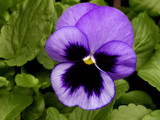 Mini Pansy by trixxie17, photography->flowers gallery