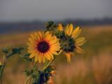 Good morning, sunshine by fishmoe, Photography->Flowers gallery