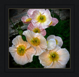 Blushing Pink Poppies by LynEve, Photography->Flowers gallery