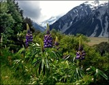 November Lupins #1 by LynEve, photography->landscape gallery