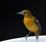 Orchard Oriole by LakeMichigan, photography->birds gallery