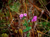 Another Late Bloomer by gerryp, Photography->Flowers gallery