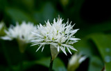 Wild Garlic? by slybri, Photography->Flowers gallery