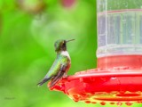 Little Hummer #2 by tigger3, photography->birds gallery