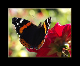 Basking by fra99y, Photography->Butterflies gallery