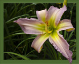 Dallas Star by phasmid, Photography->Flowers gallery