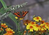 Small Tortoiseshell by biffobear, Photography->Butterflies gallery